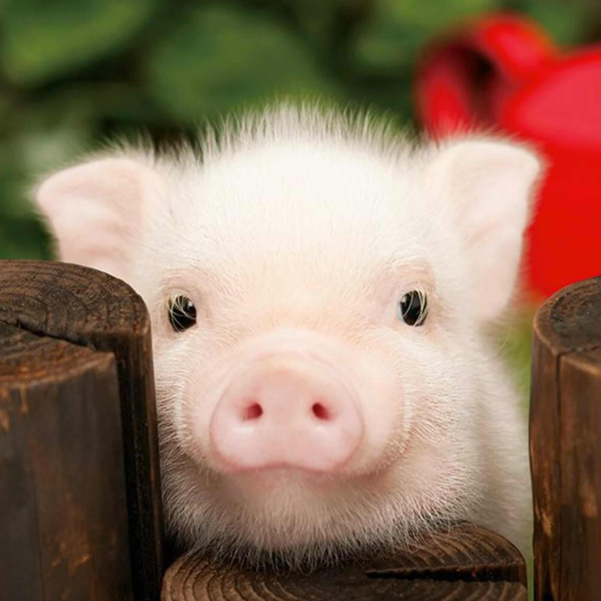 Открытку для, картинка смешные свинки